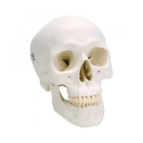 Szabvány, 3 részes koponya